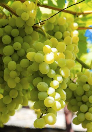Fresh ripe grapes closeup
