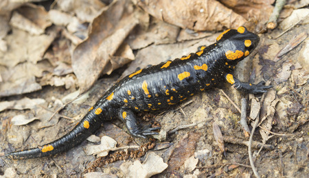 newt: Fire salamander on the ground in forest closeup