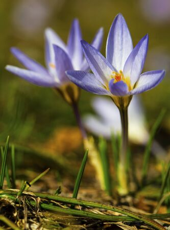Beautiful blue crocus flowers closeup