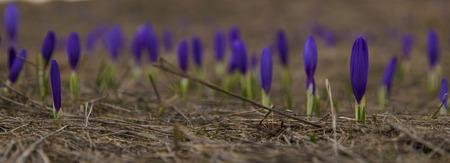 Beautiful blue crocus flowers closeup