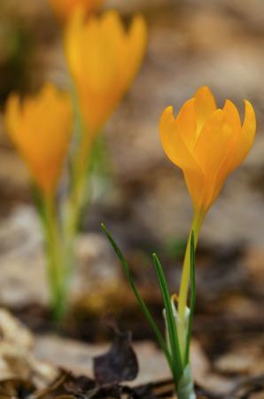 Beautiful yellow crocus closeup Stock Photo
