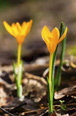 Beautiful yellow crocus flowers closeup Stock Photo
