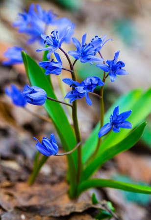 Beautiful blue squill closeup