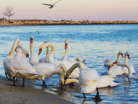 Beautiful swans and seagulls in the blue sea Standard-Bild