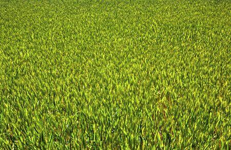 Fresh green wheat field background
