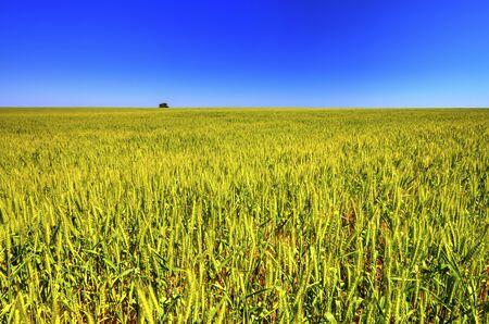 Beautiful summer landscape with fresh wheat field