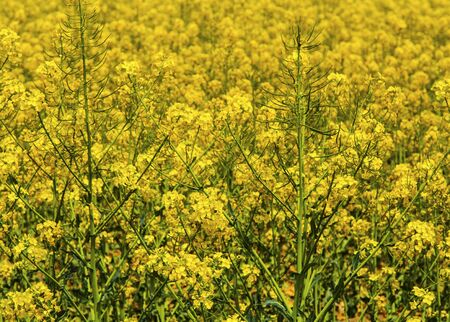 Beautiful background of fresh rapeseed flowers close up view Stock Photo