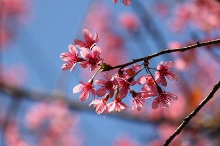 Pink cherry blossom with a blue sky background Stock Photo - 17089919
