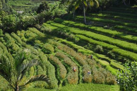 Indonesian farmers are harvesting in rice terraces Stock Photo - 17472953