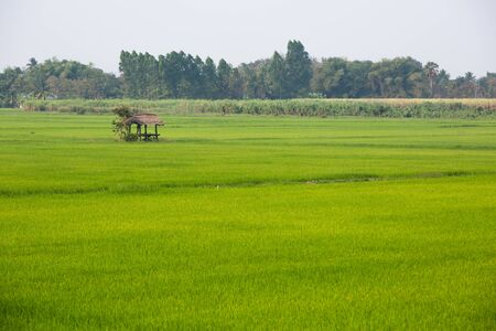 paddy fields: Lone hut in a rice field in Thailand Stock Photo