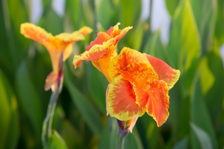 Closeup of beautiful orange canna lily with another one and green leaves in background