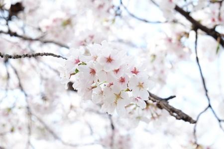 Cherry blossom or Sakura blooming in Japan