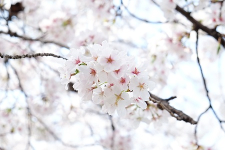Cherry blossom or Sakura blooming in Japan