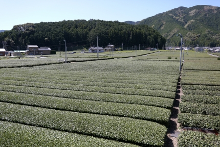 Green tea farm in early spring ready to harvest Stock Photo