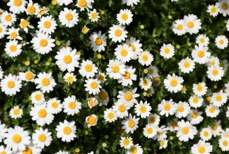 Daisy flowers in an outdoor park in spring photo