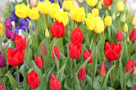 Close-up colorful tulip flowers