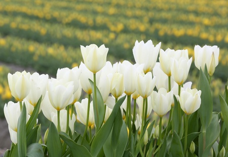 Close-up white tulip flowers Stock Photo