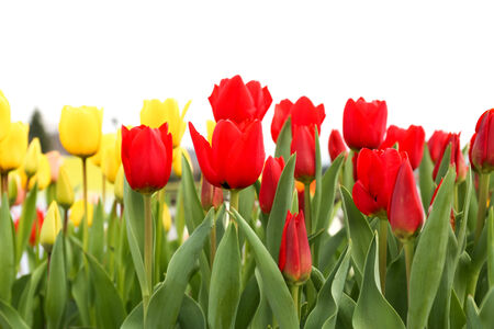 Colorful tulip flowers isolated on white background Archivio Fotografico