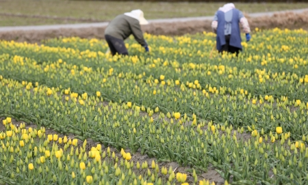 Yellow tulip farm with farmers in background
