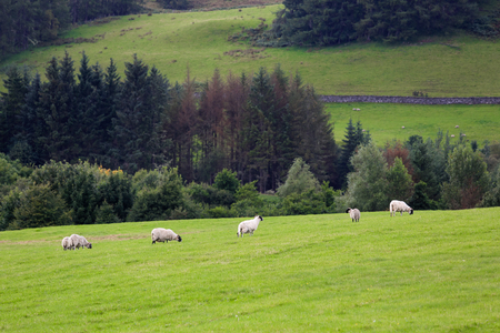country side: Sheep in a country side village in Scotland, UK Stock Photo
