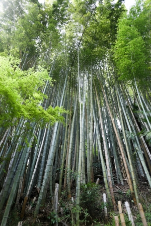 Lush bamboo forest in japan