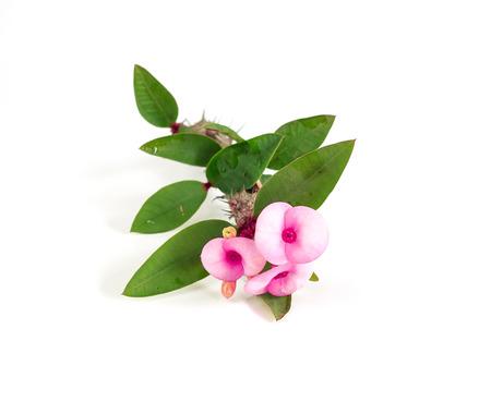 Euphorbia Milii on white background photo
