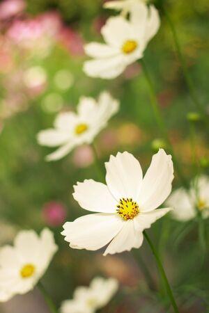 Weiß Kosmos Blume Lizenzfreie Fotos, Bilder Und Stock Fotografie ...