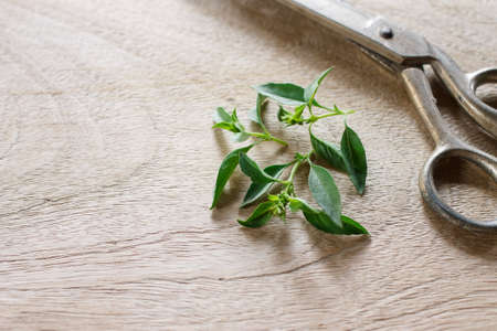 hoary: hoary basil or lemon basil