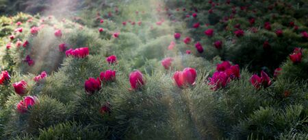 steppe peony reservation Stock Photo