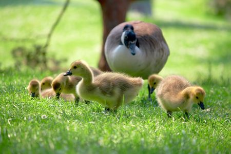 Canada goslings searching for food. Watching over by parent.