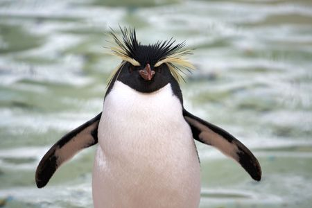 Photo of a Southern Rockhopper Penguin (Eudyptes Chrysocome) Stock Photo