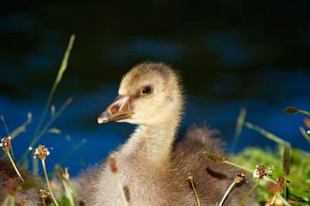 Close-up of a Greylag goose sitting next to a lake