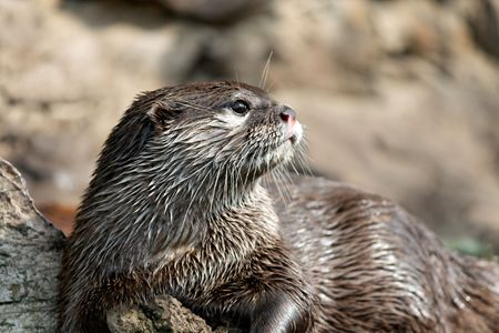 Close-up photo of a wet otter