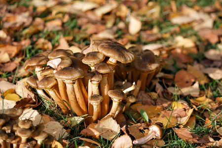 A group of brown mushrooms on the ground with fallen leaves Stock Photo