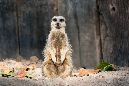 A single meerkat sitting upright and facing the camera