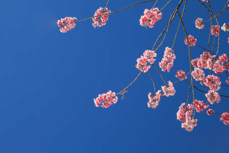 Prunus cerasoides under blue sky on Suthep Hill Chiang Mai photo