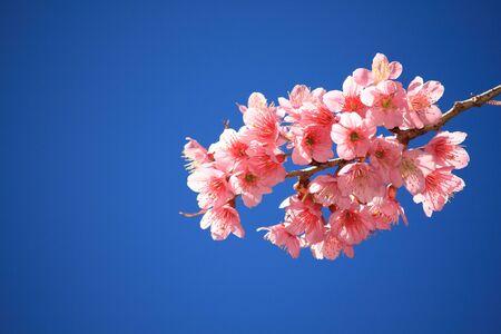 flor de sakura: Prunus cerasoides bajo un cielo azul en Suthep Hill Chiang Mai