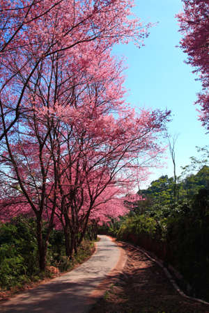 Prunus cerasoides on Suthep Hill Chiang Mai photo