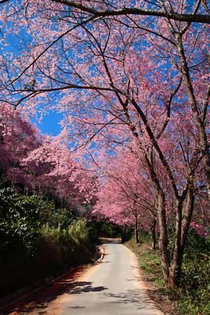 mai: Prunus cerasoides on Suthep Hill Chiang Mai