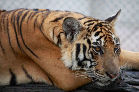 Tiger Sad in Zoo photo