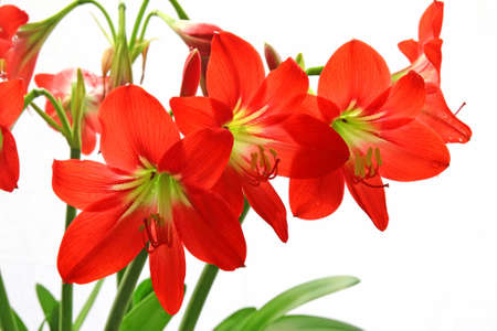 Red flowers on a white background.  photo