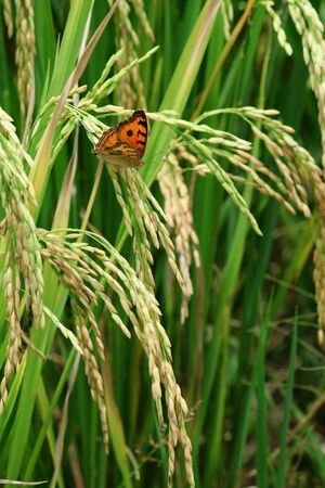 Green rice paddy with beautiful butterfly. Stock Photo - 9772212