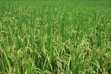 Green rice paddy Stock Photo - 9772533