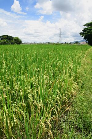 Rice fields with High-voltage towers background. Stock Photo - 9772532