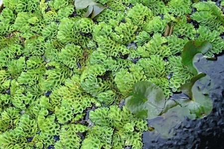 algen: groene algen lotusblad en vissen