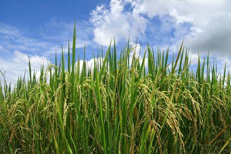 Green rice paddy with beautiful sky. Stock Photo - 10181325