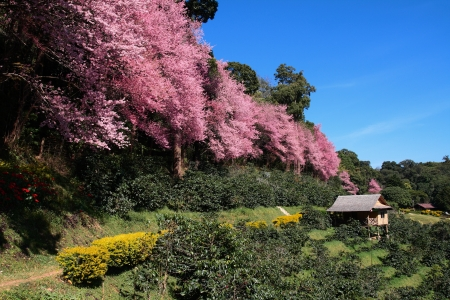 Sakura in Chiang Mai, Thailand  photo