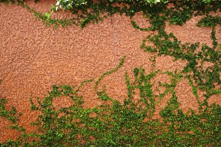 wall ivy: La planta de Creeper verde en una pared marr�n Foto de archivo