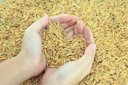 grain fields: hands holding rice with heart sign Stock Photo