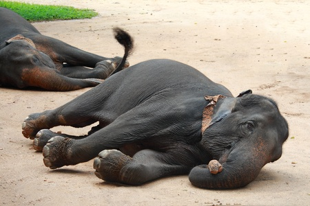 Asian Elephant sleeps on the ground